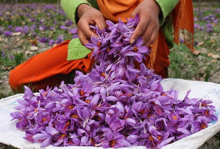 Flor do açafrão verdadeiro